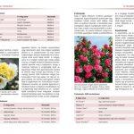 rozsak-fajtak-gondozas-metszes (1)