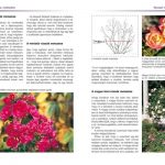 rozsak-fajtak-gondozas-metszes (2)